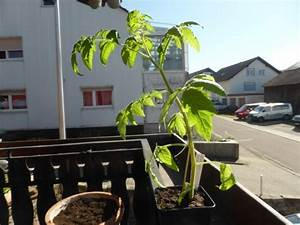 Tomaten Wann Pflanzen : tomaten aus samen selber ziehen anleitung vom samen bis zum pflanzen ~ Frokenaadalensverden.com Haus und Dekorationen