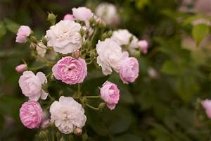 Growing Roses For Beginners: How To Take Care Of Roses