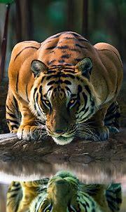 25++ Tiger In Water Iphone Wallpaper Hd - Bizt Wallpaper