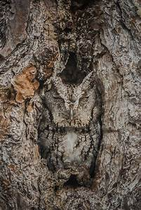 Eastern Screech Owls Use Their Power Of Camouflage To
