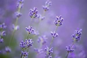 Lavendel Pflanzen Im Topf : lavendel im topf pflegetipps und wichtige fakten ~ Michelbontemps.com Haus und Dekorationen