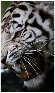 White tiger, face, whiskers, fangs wallpaper | animals ...