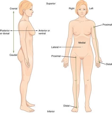 Female back diagram illustrations & vectors. Anatomical Terminology   Anatomy and Physiology I