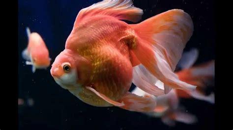 los  gold fish mas caros  bonitos del mundo  youtube