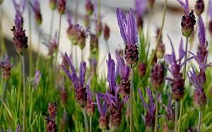 Lavendel Sorten übersicht : schopflavendel pflanze lavandula stoechas lavendel duftpflanzen r hlemann 39 s kr uter ~ Eleganceandgraceweddings.com Haus und Dekorationen