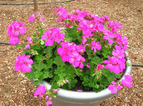 how to grow geranium how to grow geranium growing and caring for geraniums