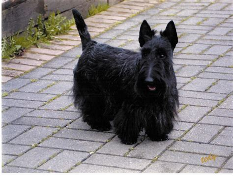 scottish terrier breed guide learn   scottish