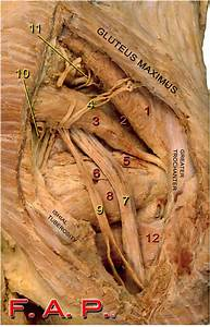 Anatomy Quiz  The Posterior Gluteal Region