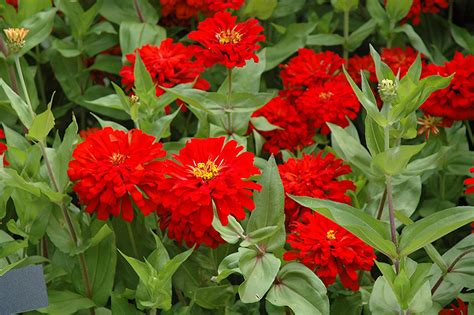 red sun zinnia zinnia red sun  denver centennial