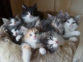 forest cat svalrkattens forest cats