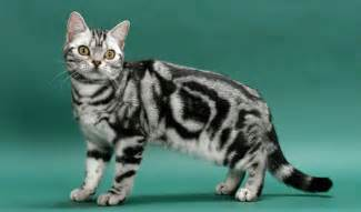 american shorthair cat american shorthair cat breed information