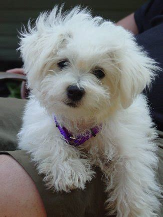 cute puppy dogs white poodle puppy