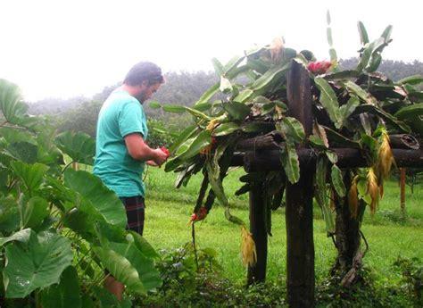 photo  dragon fruit plant dragon fruit farm grow  home