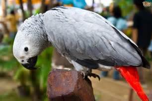 African Grey Parrot Talking