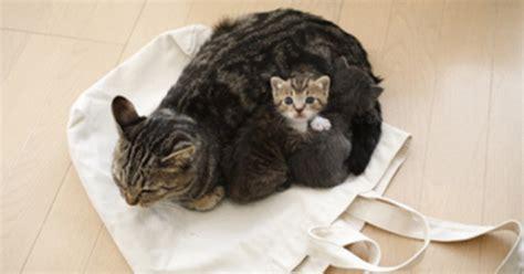 combien de portee par an pour un chat travail de la chatte naissance des chatons purina