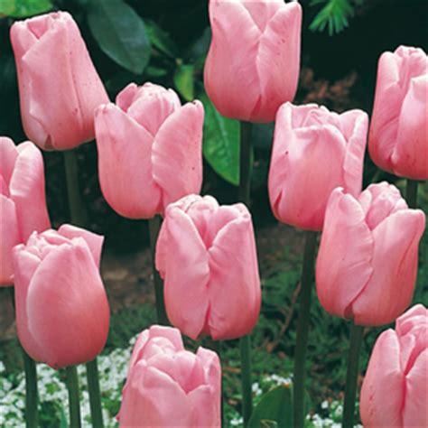 buy pink tulip bulbs tulip triumph bulbs for sale