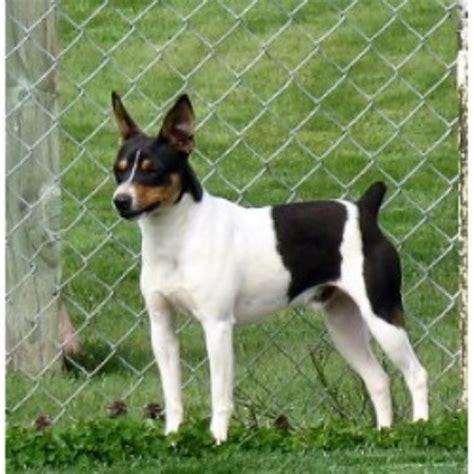 Clearbrook Kennels Rat Terrier Breeder In Sumas Washington