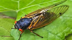 Join in on a Cicada Symphony - YouTube