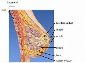 Breast Anatomy - Wommen Network