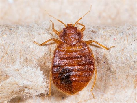 bed bugs flat bedbug infestation treatment services by richland termite