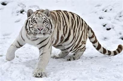 Tigre Blanco Wallpapers