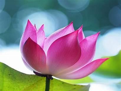 Lotus Flowers Pink 4a Desktop Wallpapers13