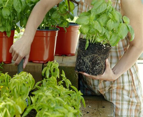 where to buy basil plants 5 places to buy herbs online herb gardens