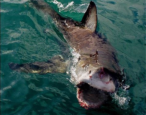 Real Shark Attacks On Humans Pictures To Pin On Pinterest