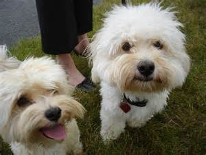 Havanese Adult Dogs