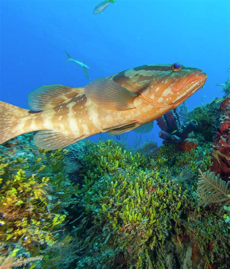 bahamas grouper northern stuart westmorland photograph 14th february which uploaded