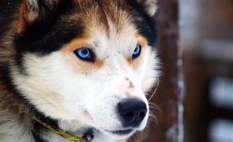German Shepherd Husky Mix (Family Friendly Dog!) - Howpup