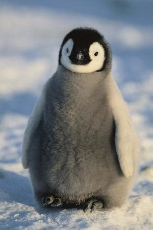 Fluffy Baby Penguin