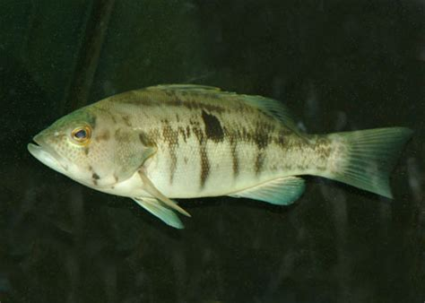 Barred Sand Bass, Paralabrax nebulifer