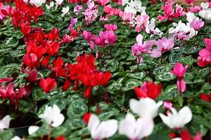 File:Red-white-pink-flower-cyclamen - West Virginia ...