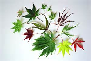 different types of japanese maples black gold japanese maples for southeastern gardens black gold