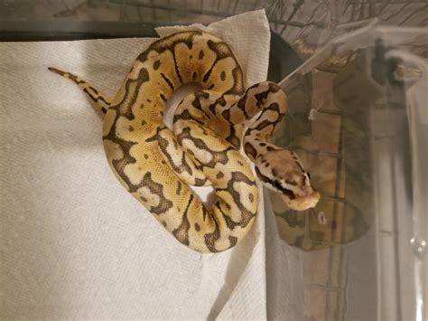 ball python heat l off at night i need help with figuring out what line of ghost this is