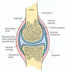 Synovial Joint  Easy Pic For Patients To Understand And You Talk About Joint Health