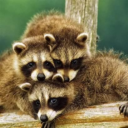 Raccoons Funny Raccoon Animal Animals Racoon Cutest