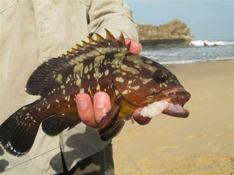 yellowbelly rockcod south perch dusky africa fishing african photographs fishthesea za