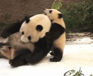 Panda Fighting GIFs - Find & Share on GIPHY