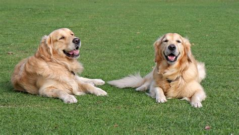 dogs golden retriever  stock photo public domain