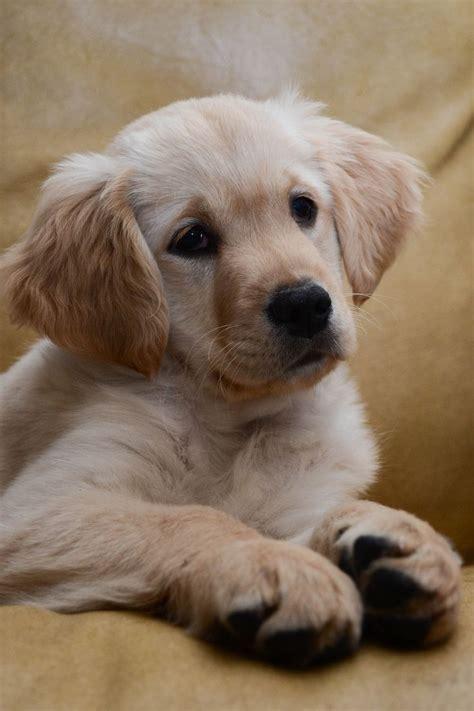 Golden Retriever Puppy Group Golden Retrievers Best