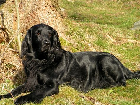 flat coated retriever strong and elegant working retriever