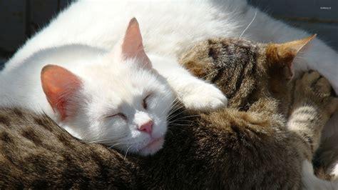 Grey Animal Wallpaper - white cat sleeping on a gray cat wallpaper animal