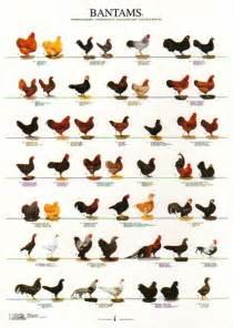 Bantam Chicken Breeds Chart