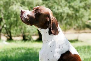 English Pointer Dogs