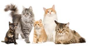 what breed of cat are you top 10 most popular cat breeds cathealth
