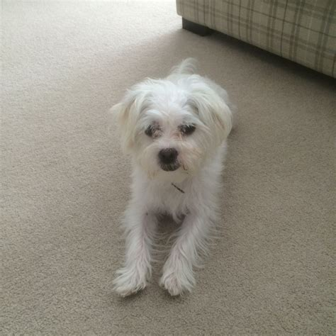 do bichon maltese shed maltese bichon frise aylesbury buckinghamshire pets4homes
