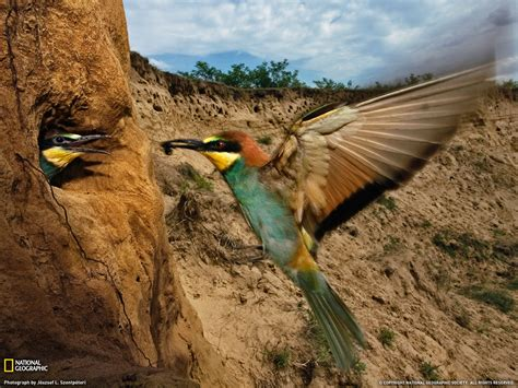 Beeeater Picture, Hungary Wallpaper  National Geographic