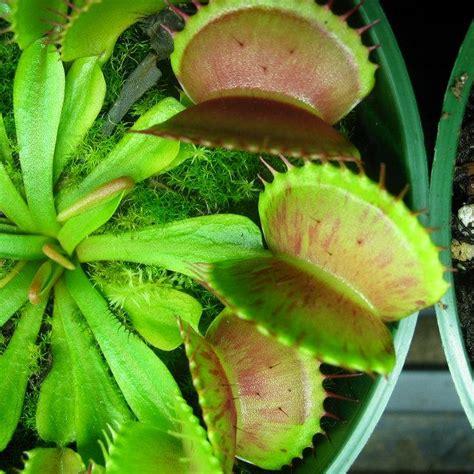 venus fly trap care feed a venus fly trap flytrapcare com